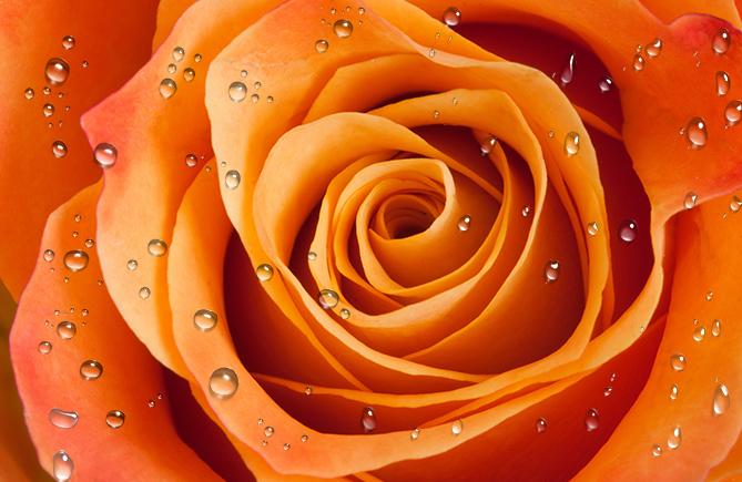 Роза с каплями росы