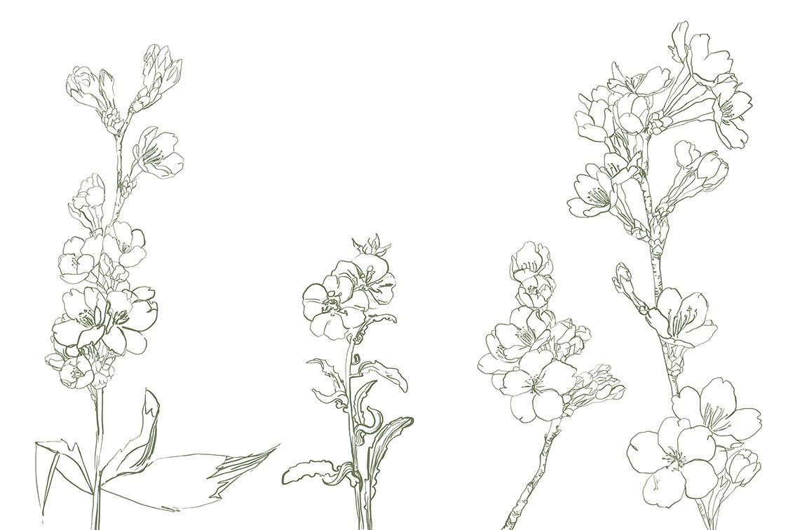 Веточки цветущей вишни