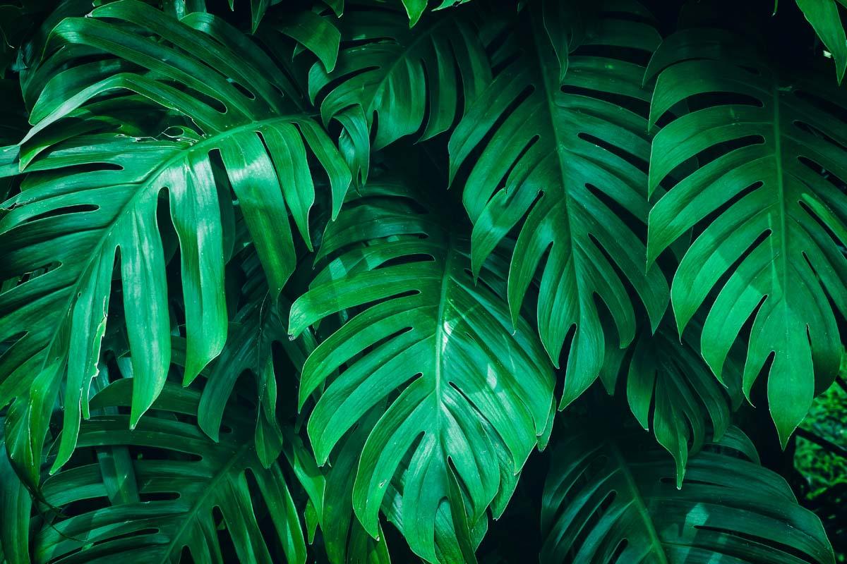 Сочные листья монстеры