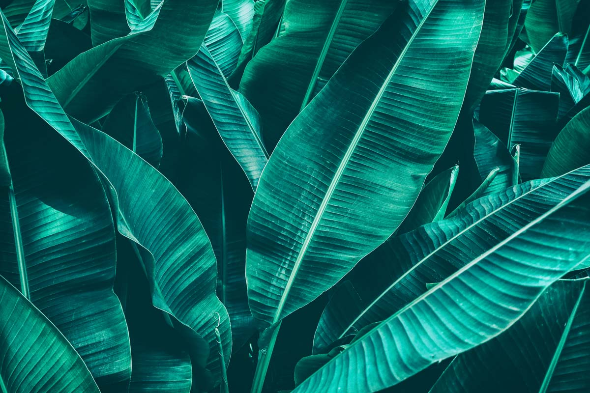 Охапка банановых листьев