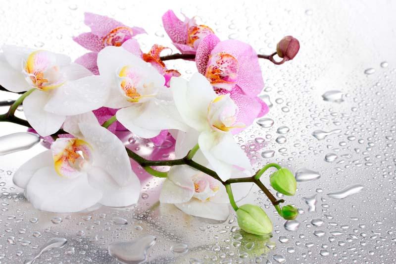 Орхидеи в росе