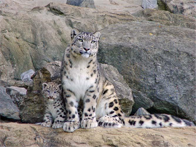Белые леопарды