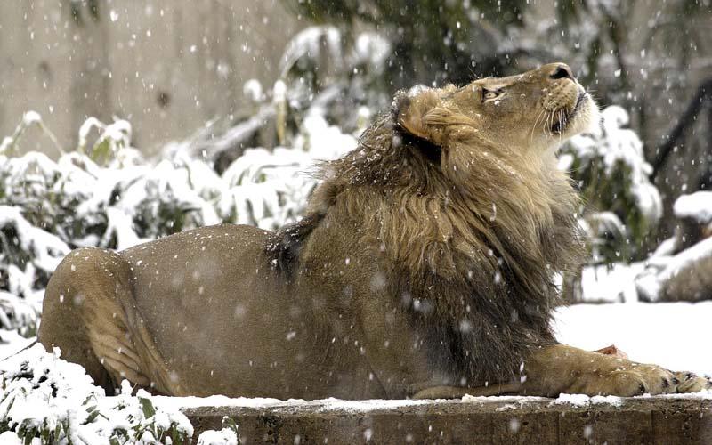Лев в снегу