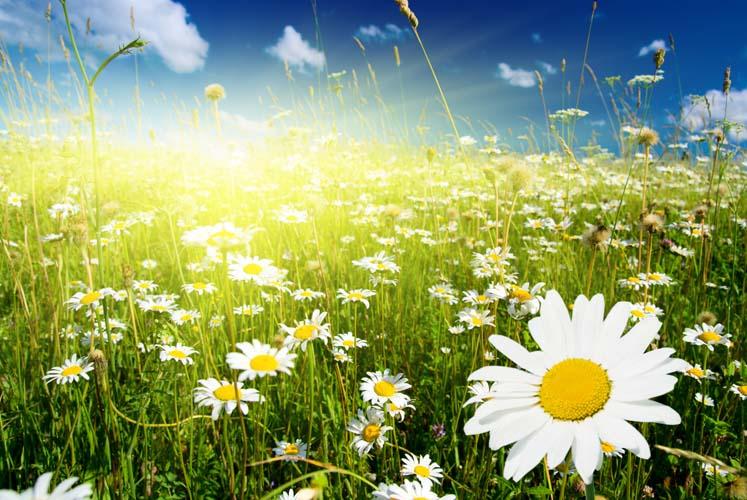 Ромашковое поле в солнечную погоду