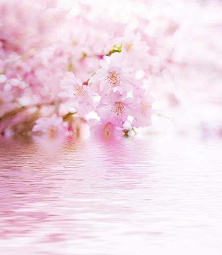 Цветущая сакура над водой