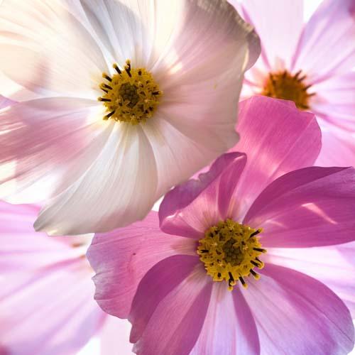 Цветы фрезии