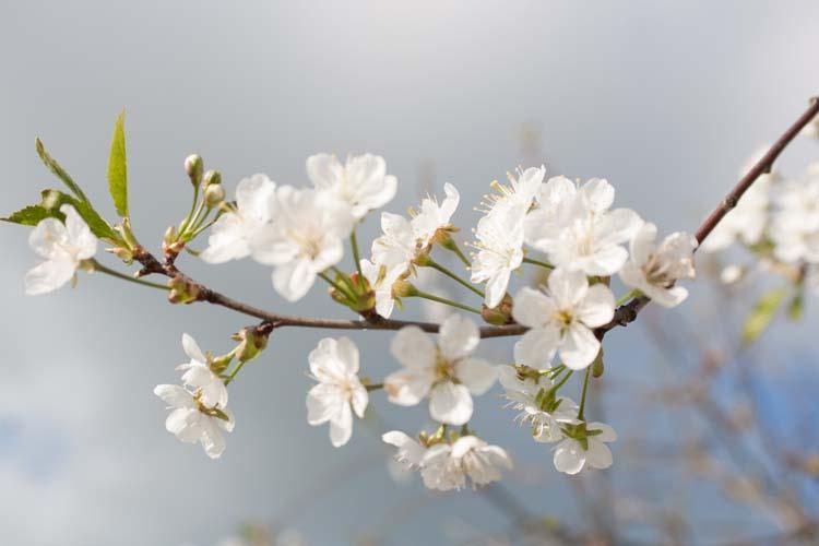 Белая вишня
