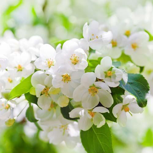 Садовые вишни