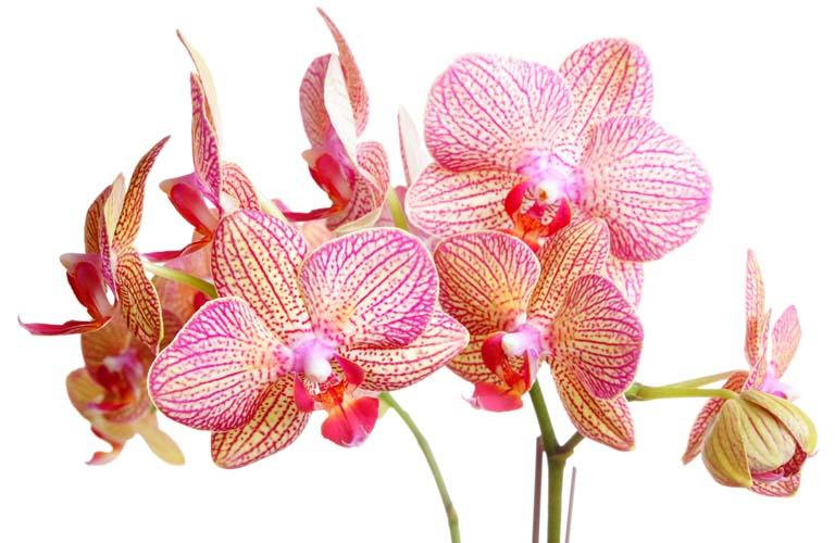 Тигровые орхидеи
