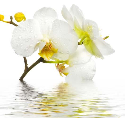 Орхидея в отражении
