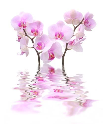Ветки орхидей в воде