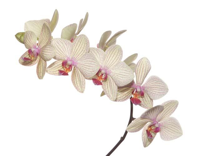 Бежевая орхидея