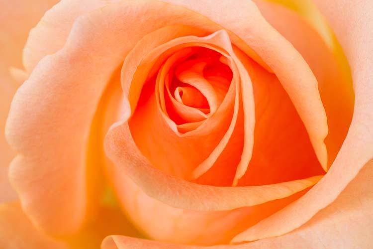 Крупная роза
