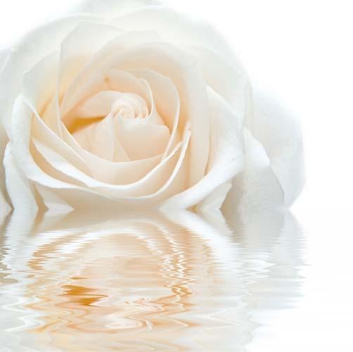 Белая роза в воде