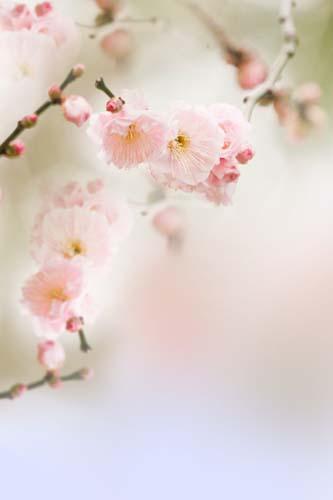 Розовые цветы вишни