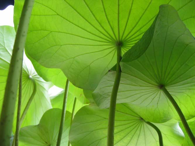 Листья кувшинок