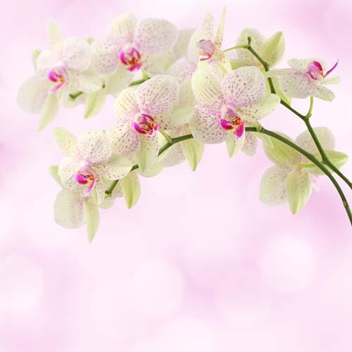 Салатовые орхидеи