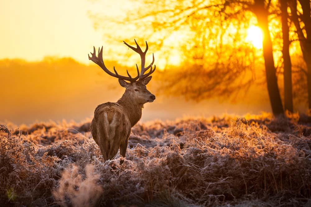Олень морозным утром