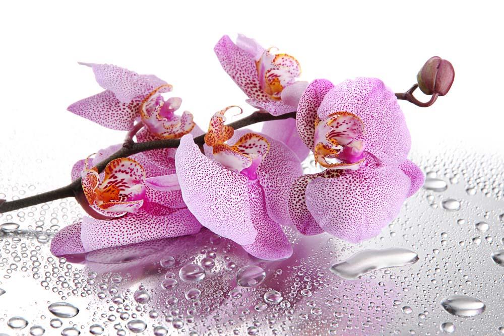 Орхидея с каплями росы