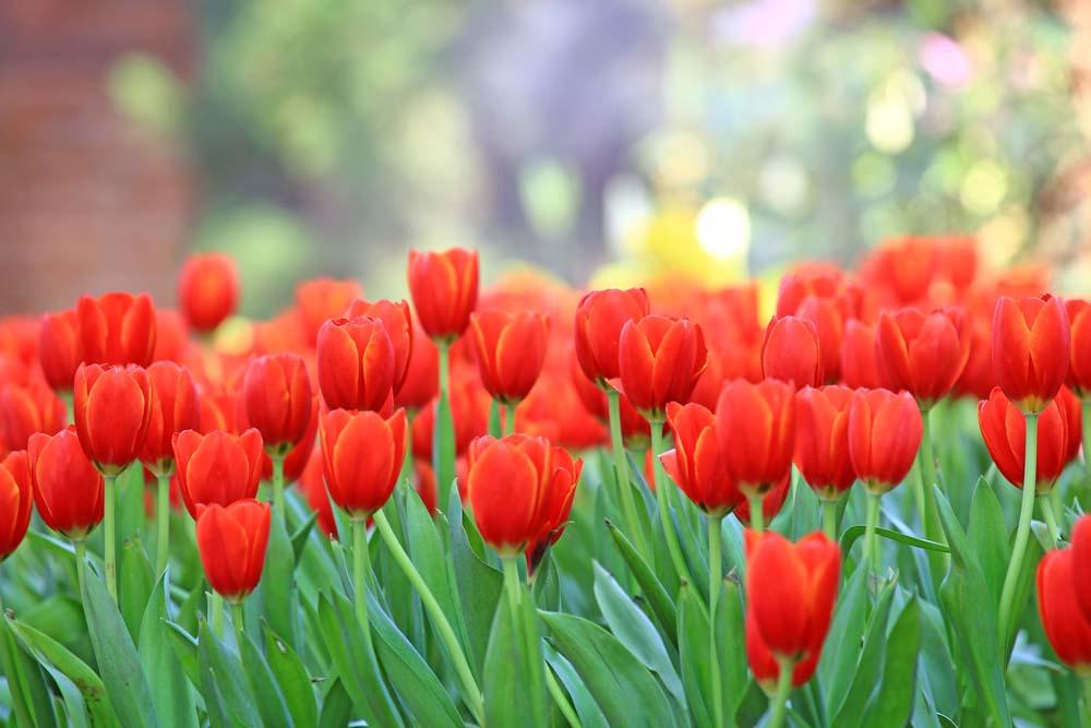 Поле красных тюльпанов