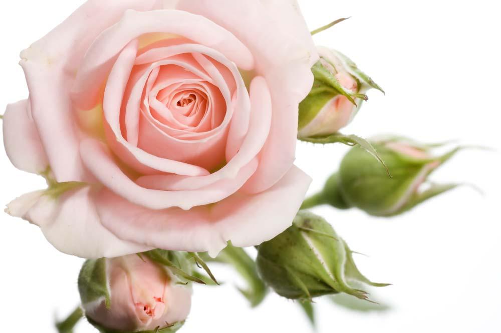 Нюдовая роза