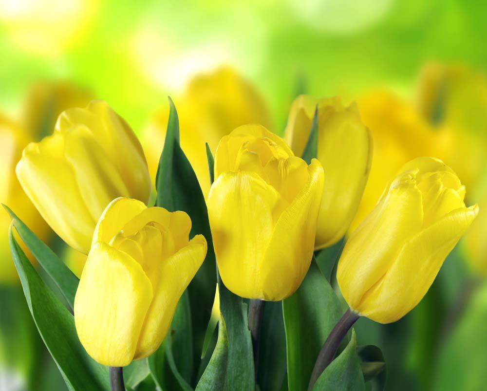 Желтные тюльпаны