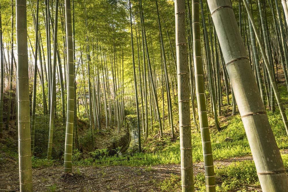 Бамбуковоый лес