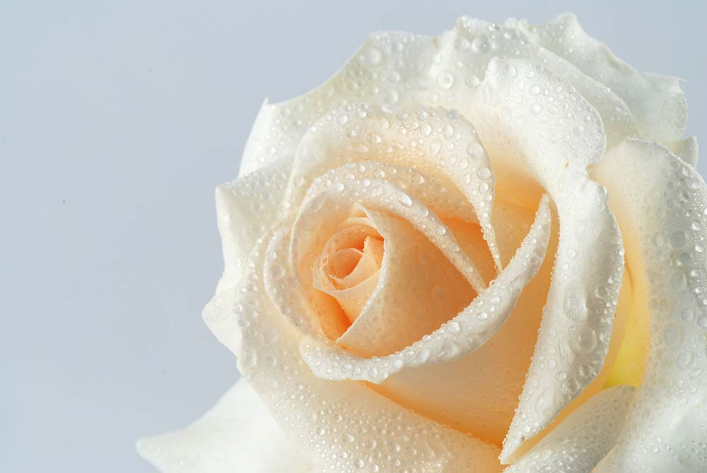 Бежевая роза
