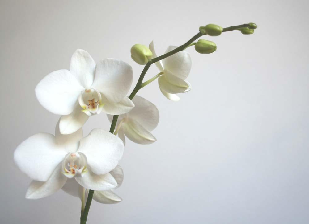 Белые цветы орхидеи на ветке