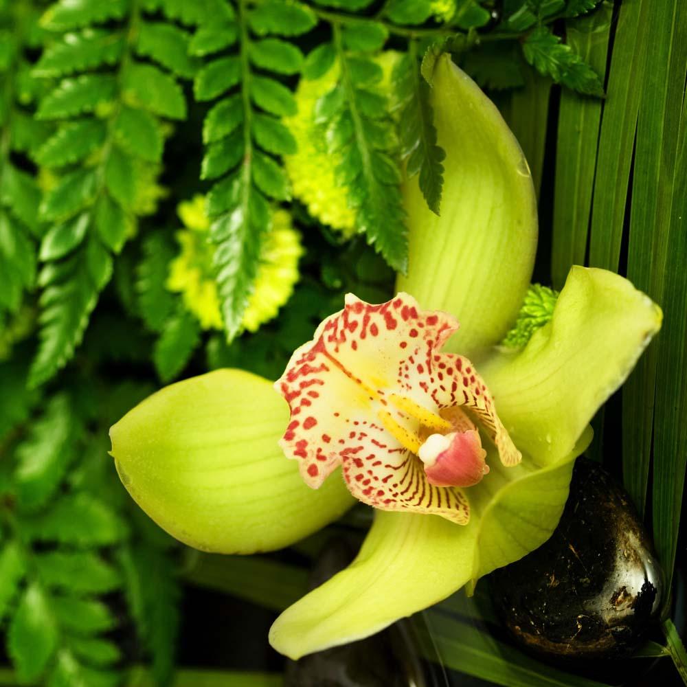 Тигровая орхидея в тропиках