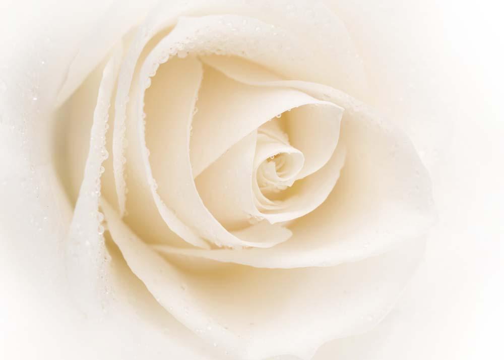 Роза в нежных тонах