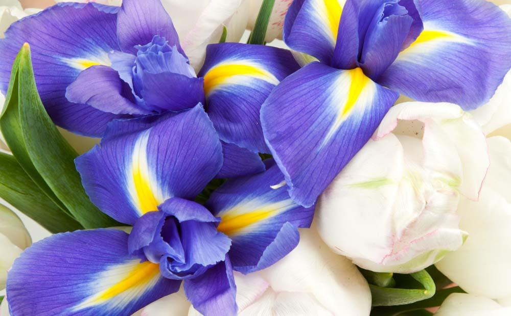 Петушки и тюльпаны