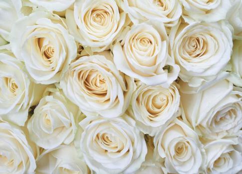 Белые розы 360х260 Глянец