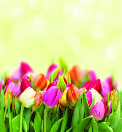 Тюльпаны 240x260 Сатин