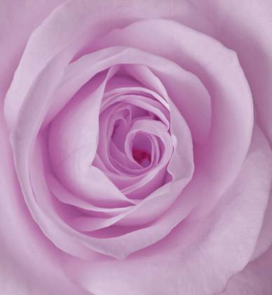 Роза 240х260 Сатин