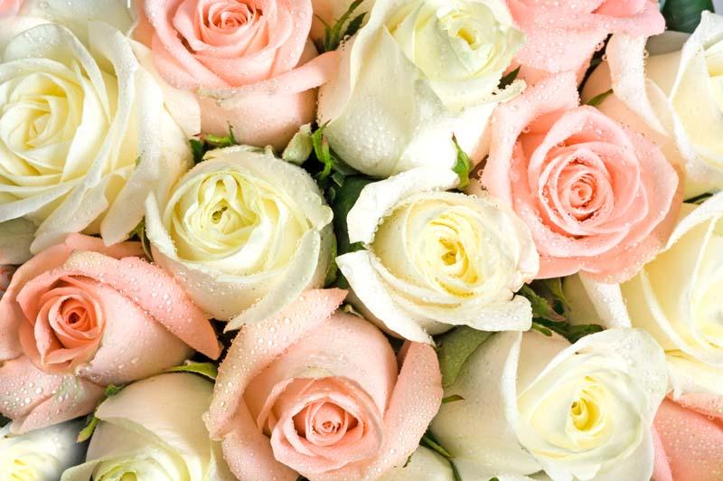 Розы в росе