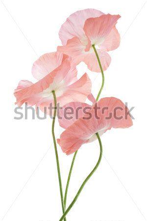 Розовые маки