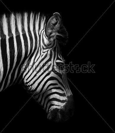 зебры